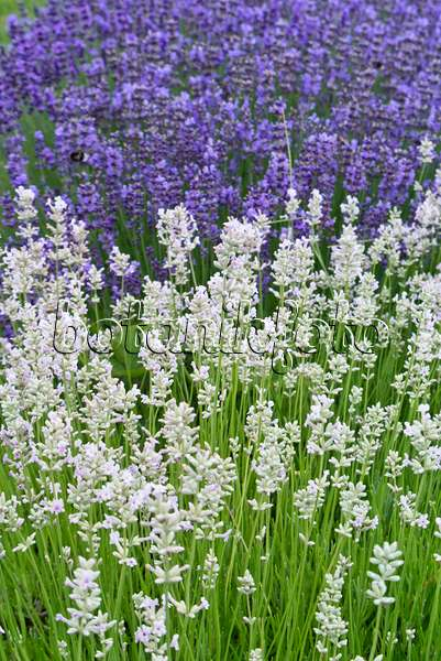 bild echter lavendel lavandula angustifolia 39 munstead. Black Bedroom Furniture Sets. Home Design Ideas