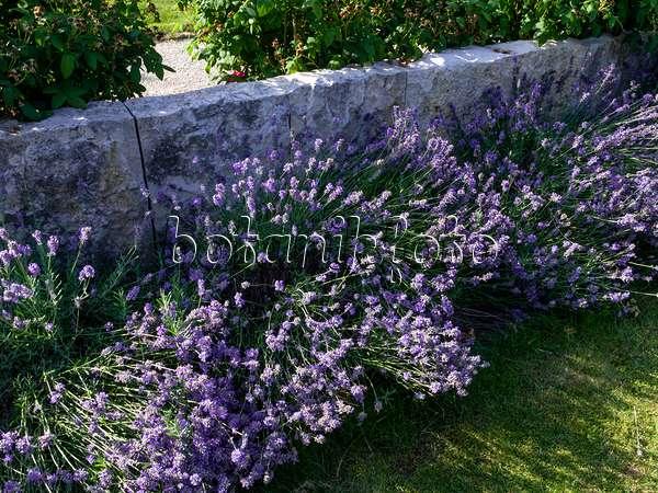 bild echter lavendel lavandula angustifolia 39 hidcote blue. Black Bedroom Furniture Sets. Home Design Ideas