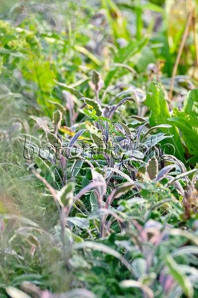 bild echter salbei salvia officinalis 39 tricolor. Black Bedroom Furniture Sets. Home Design Ideas