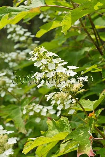 bild eichenbl ttrige hortensie hydrangea quercifolia. Black Bedroom Furniture Sets. Home Design Ideas