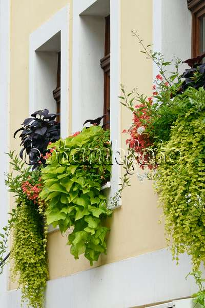 bild elfensporn diascia breeze orange 548155 bilder und videos von pflanzen und g rten. Black Bedroom Furniture Sets. Home Design Ideas