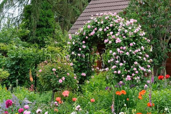 bild englische rose rosa constance spry 521081 bilder und videos von pflanzen und g rten. Black Bedroom Furniture Sets. Home Design Ideas