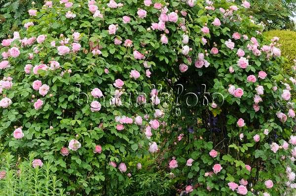 bild englische rose rosa constance spry 545136. Black Bedroom Furniture Sets. Home Design Ideas