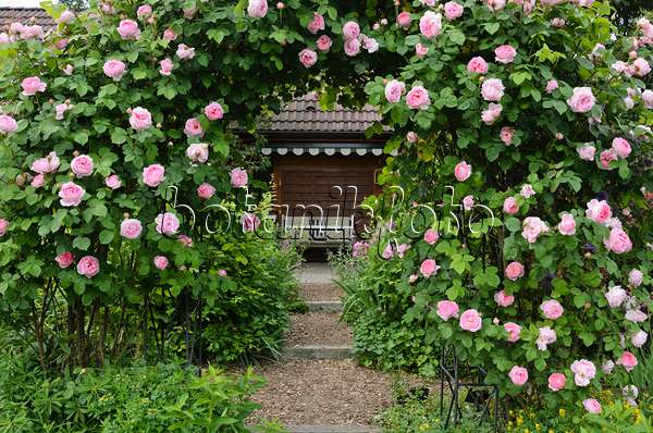bild englische rose rosa constance spry 521093 bilder und videos von pflanzen und g rten. Black Bedroom Furniture Sets. Home Design Ideas