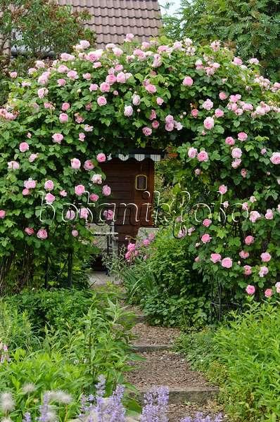 bild englische rose rosa constance spry mit. Black Bedroom Furniture Sets. Home Design Ideas