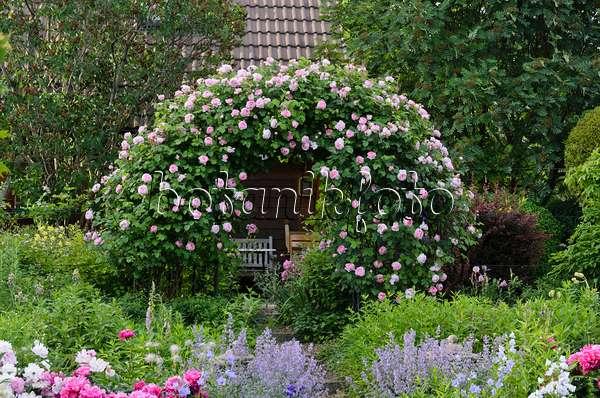 bild englische rose rosa constance spry mit gartenpavillon 473113 bilder und videos von. Black Bedroom Furniture Sets. Home Design Ideas