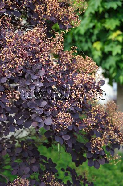 bild europ ischer per ckenstrauch cotinus coggygria 39 royal purple 39 520416 bilder und. Black Bedroom Furniture Sets. Home Design Ideas