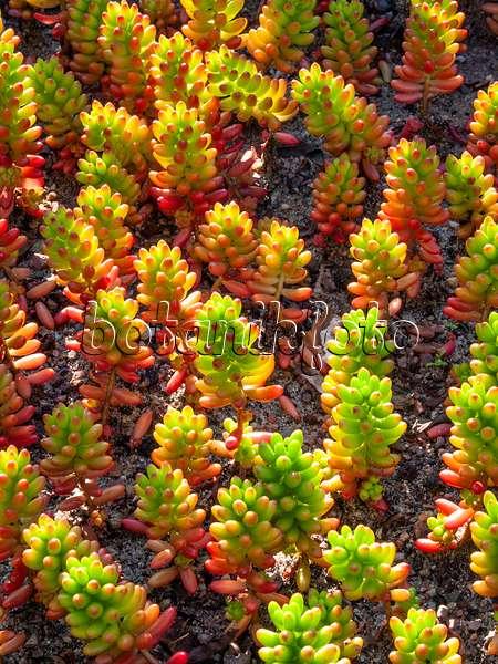 bild fetthenne sedum rubrotinctum 523273 bilder und videos von pflanzen und g rten. Black Bedroom Furniture Sets. Home Design Ideas