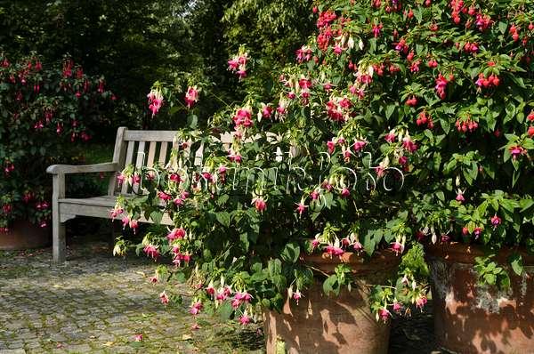 bild garten mit fuchsien und hortensien 476010 bilder und videos von pflanzen und g rten. Black Bedroom Furniture Sets. Home Design Ideas