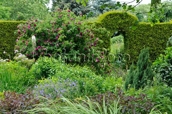 bild englische rose rosa charles austin 461071 bilder und videos von pflanzen und g rten. Black Bedroom Furniture Sets. Home Design Ideas