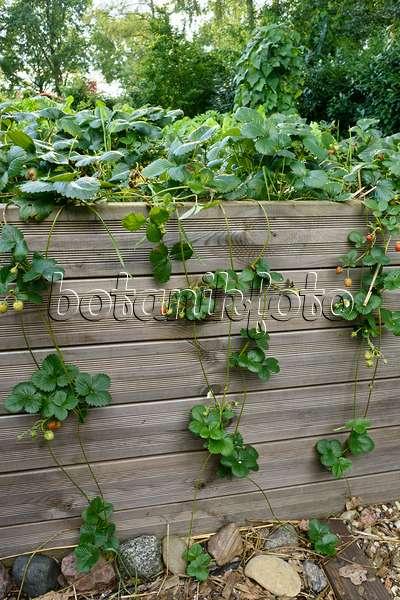 Bild Gartenerdbeere Fragaria X Ananassa Auf Stroh Mit Netz