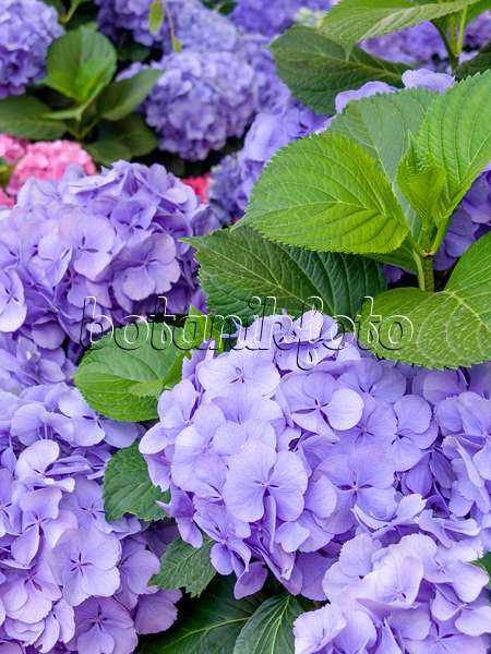 bilder hydrangea macrophylla 39 heinrichsberg 39 bilder und videos von pflanzen und g rten. Black Bedroom Furniture Sets. Home Design Ideas