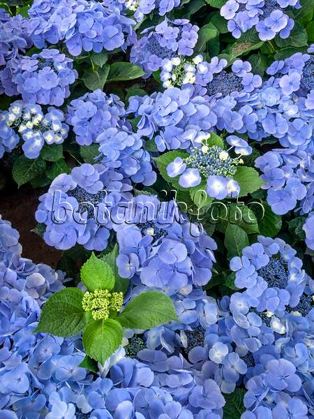 bilder hydrangea macrophylla 39 bl uling 39 bilder und videos von pflanzen und g rten botanikfoto. Black Bedroom Furniture Sets. Home Design Ideas