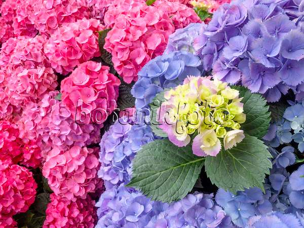 bilder hydrangea macrophylla 39 amsterdam 39 bilder und videos von pflanzen und g rten botanikfoto. Black Bedroom Furniture Sets. Home Design Ideas