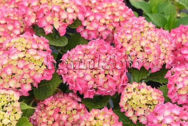 bilder hydrangea macrophylla 39 leuchtfeuer 39 bilder und videos von pflanzen und g rten botanikfoto. Black Bedroom Furniture Sets. Home Design Ideas