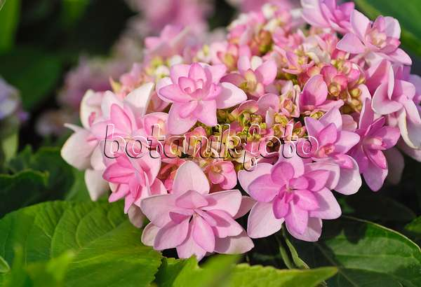 bilder hydrangea macrophylla 2 bilder und videos von pflanzen und g rten botanikfoto. Black Bedroom Furniture Sets. Home Design Ideas