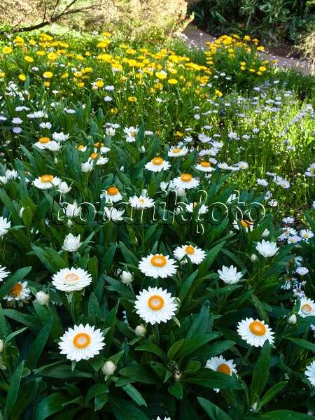 Bild Silberblatt (Helichrysum petiolare) - 476161 - Bilder und Videos ...