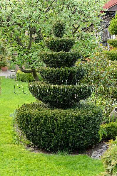 bild gew hnliche eibe taxus baccata in kugelform in einem rosengarten britzer garten berlin. Black Bedroom Furniture Sets. Home Design Ideas