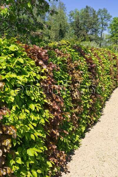 bild gew hnliche hainbuche carpinus betulus und blutbuche fagus sylvatica 39 purpurea. Black Bedroom Furniture Sets. Home Design Ideas