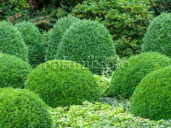 bild gew hnlicher buchsbaum buxus sempervirens und japanischer ysander pachysandra terminalis. Black Bedroom Furniture Sets. Home Design Ideas