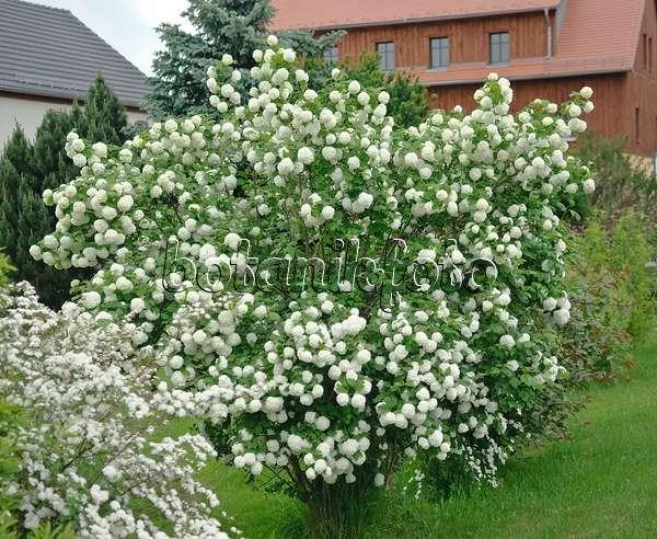 bild gew hnlicher schneeball viburnum opulus 39 roseum 39 und vergissmeinnicht myosotis neben. Black Bedroom Furniture Sets. Home Design Ideas
