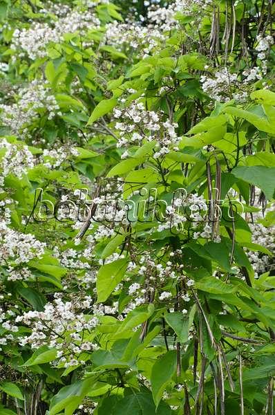 bild gew hnlicher trompetenbaum catalpa bignonioides 442107 bilder und videos von pflanzen. Black Bedroom Furniture Sets. Home Design Ideas