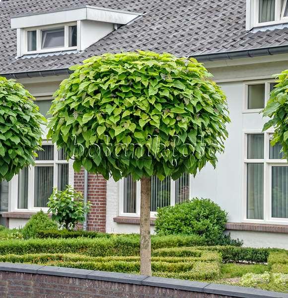 bild gew hnlicher trompetenbaum catalpa bignonioides. Black Bedroom Furniture Sets. Home Design Ideas