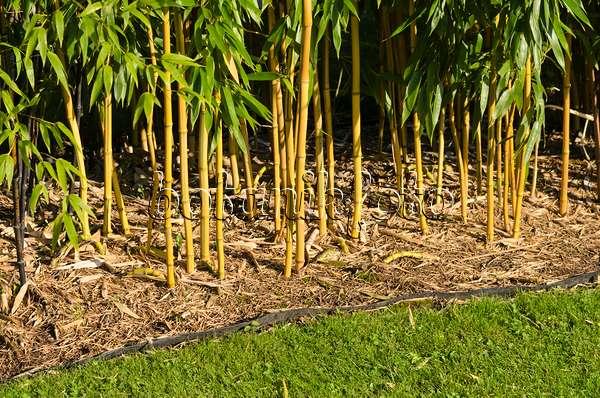 bild goldener peking bambus phyllostachys aureosulcata. Black Bedroom Furniture Sets. Home Design Ideas
