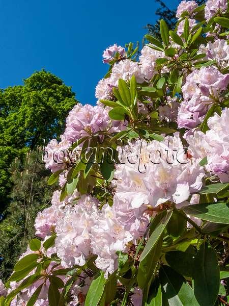 bilder gro blumige rhododendron hybride bilder und. Black Bedroom Furniture Sets. Home Design Ideas