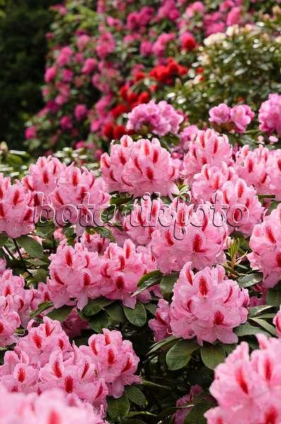 bilder rhododendron furnivall 39 s daughter bilder und. Black Bedroom Furniture Sets. Home Design Ideas