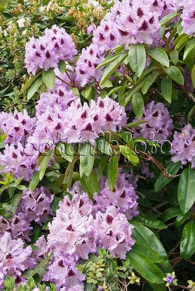 bild koi teich mit rhododendren rhododendron staudenphlox phlox paniculata und pelargonien. Black Bedroom Furniture Sets. Home Design Ideas