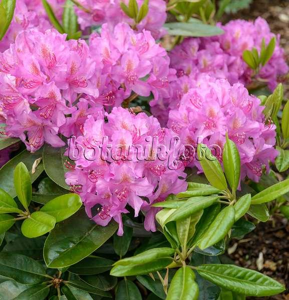 bilder rhododendron pink purple dream bilder und videos. Black Bedroom Furniture Sets. Home Design Ideas