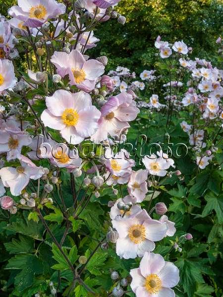 Bilder Herbstanemone 2 Bilder Und Videos Von Pflanzen Und Garten