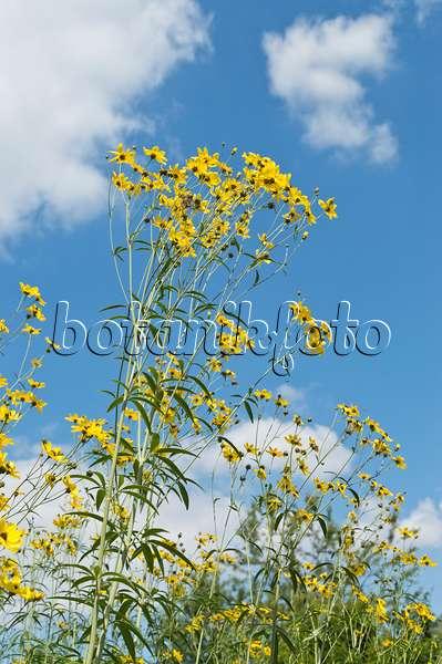 bild m dchenauge coreopsis basalis 498194 bilder und videos von pflanzen und g rten. Black Bedroom Furniture Sets. Home Design Ideas