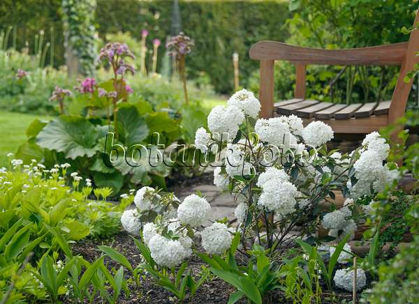 bild duftender schneeball viburnum farreri 526003 bilder und videos von pflanzen und. Black Bedroom Furniture Sets. Home Design Ideas