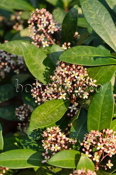 bild japanische skimmie skimmia japonica 39 rubella 39 566076 bilder und videos von pflanzen. Black Bedroom Furniture Sets. Home Design Ideas