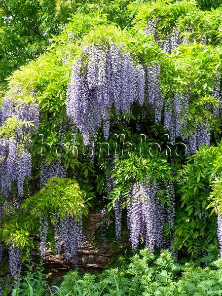 bild japanischer blauregen wisteria floribunda 39 longissima 39 437382 bilder und videos von. Black Bedroom Furniture Sets. Home Design Ideas