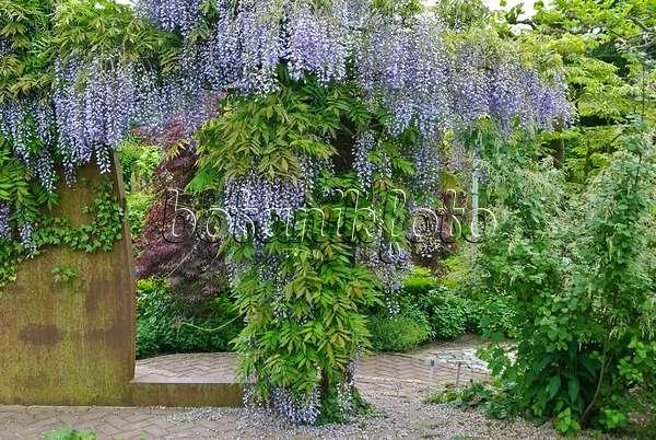 bild japanischer blauregen wisteria floribunda 535439 bilder und videos von pflanzen und. Black Bedroom Furniture Sets. Home Design Ideas