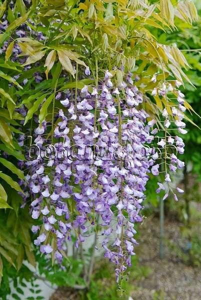 bild japanischer blauregen wisteria floribunda 535441 bilder und videos von pflanzen und. Black Bedroom Furniture Sets. Home Design Ideas