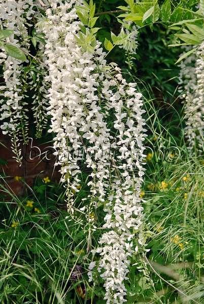 bild japanischer blauregen wisteria floribunda 39 shiro noda 39 535437 bilder und videos von. Black Bedroom Furniture Sets. Home Design Ideas
