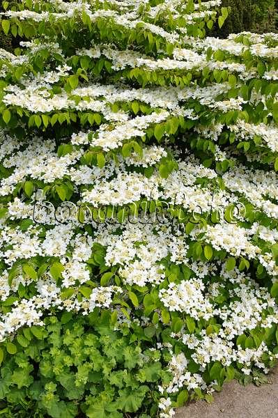 bild japanischer schneeball viburnum plicatum 39 lanarth 39 523138 bilder und videos von. Black Bedroom Furniture Sets. Home Design Ideas