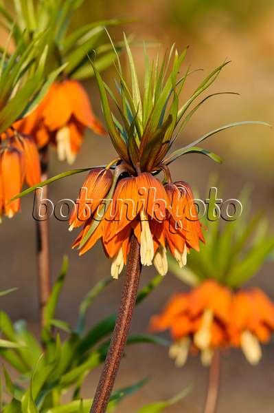 bild pyren en schachblume fritillaria pyrenaica 507208 bilder und videos von pflanzen und. Black Bedroom Furniture Sets. Home Design Ideas