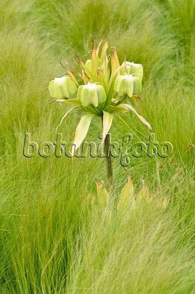 bild kaiserkrone fritillaria imperialis 483221 bilder und videos von pflanzen und g rten. Black Bedroom Furniture Sets. Home Design Ideas