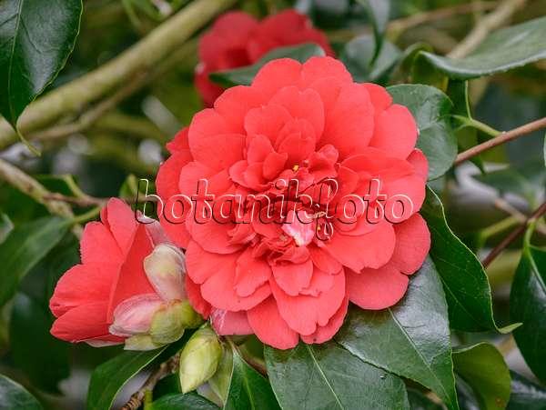 bild kamelie camellia japonica 39 duftgl ckchen 39 480012 bilder und videos von pflanzen und. Black Bedroom Furniture Sets. Home Design Ideas