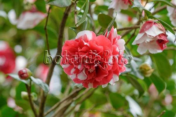 bild kamelie camellia japonica 39 roger hall 39 502128 bilder und videos von pflanzen und. Black Bedroom Furniture Sets. Home Design Ideas