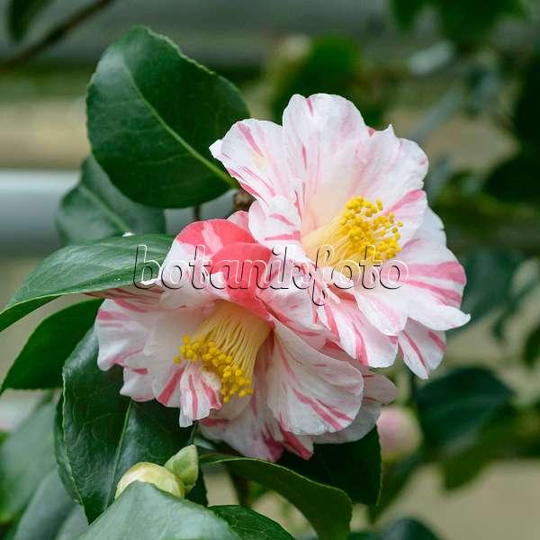 bild kamelie camellia japonica 39 tricolor 39 517151 bilder und videos von pflanzen und g rten. Black Bedroom Furniture Sets. Home Design Ideas