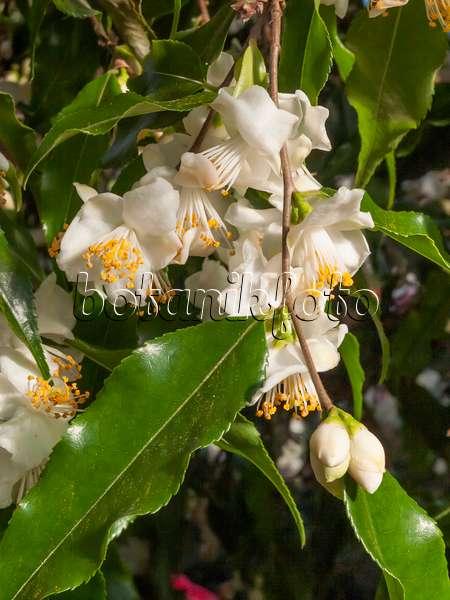 bild kamelie camellia tsaii 435183 bilder und videos von pflanzen und g rten botanikfoto. Black Bedroom Furniture Sets. Home Design Ideas