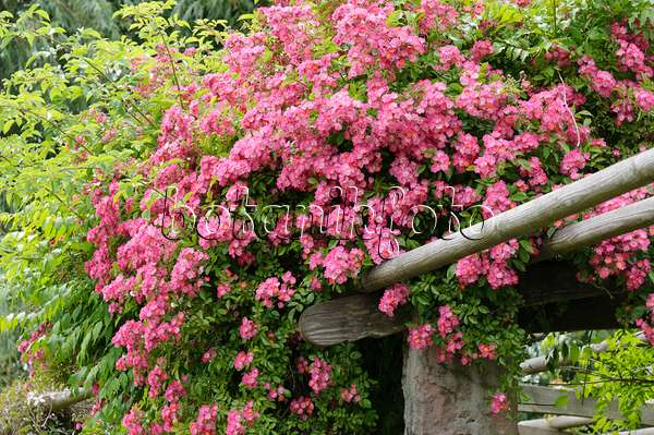 bild kletterrose rosa marie liesa b renklau heracleum rittersporn delphinium und. Black Bedroom Furniture Sets. Home Design Ideas
