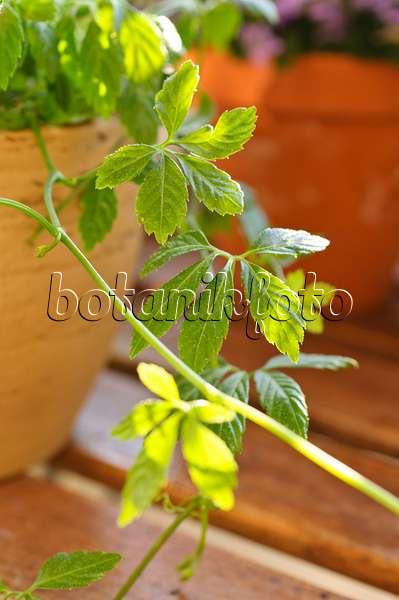 bild kraut der unsterblichkeit gynostemma pentaphyllum 486157 bilder und videos von. Black Bedroom Furniture Sets. Home Design Ideas