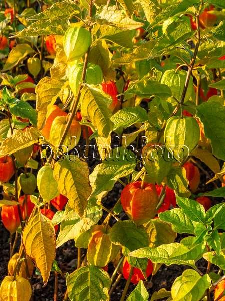 bild erdbeertomate physalis pruinosa 429121 bilder und videos von pflanzen und g rten. Black Bedroom Furniture Sets. Home Design Ideas
